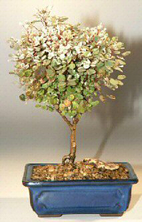 Snowbush Bonsai Tree Breynia Disticha
